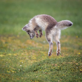 What Goes Up ! by Paul Runze - Animals Other Mammals ( 2014 arctic, fox x pup x svalbard x jumping )