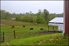 cow pasture 2pm