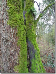 Two mossy trees