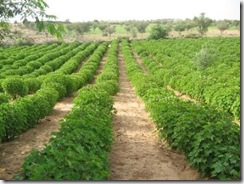 Jatropha hedges are perfect for poor African soil