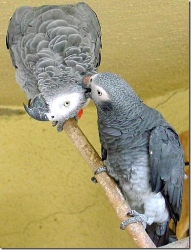 AfricanGrey Parrots