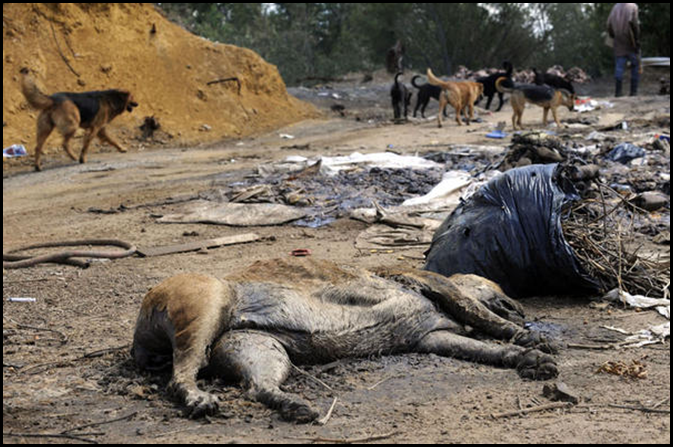 Dog carcas Randfontein municipal Rubbish dump pic Jennifer Bruce The Star