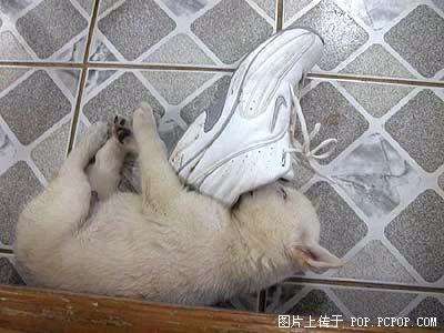 被鞋子薰昏的可怜小狗……