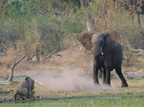 当做爱中的狮子遇上狂怒的大象时……