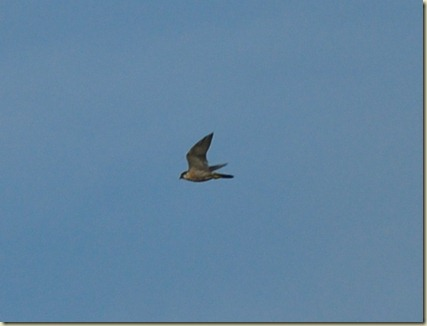 Scilly Peregrine
