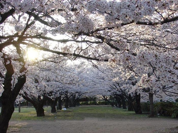 alberi di ciliegio