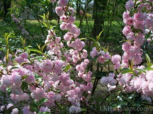 my flowering almond in spring