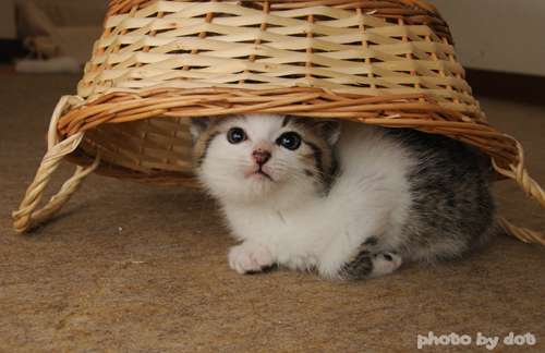 cute kitten hiding underneath basket