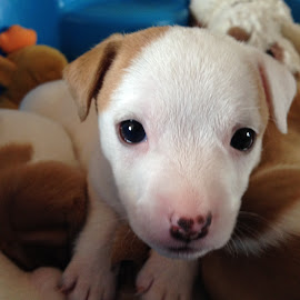 Pick Me! by Dawn Simpson - Animals - Dogs Puppies ( puppies, black eyes, puppy, fox terrier, cute )