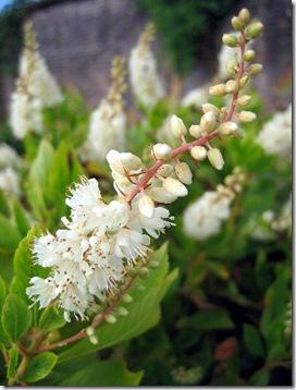 clethra_alnifolia (1)