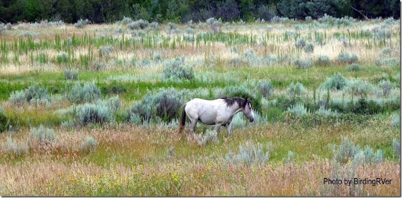 An actual Wild Horse, the first of many we would see at Theodore Roosevelt National Park.