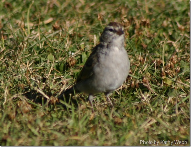 IMG_5784-Chipping Sparrow