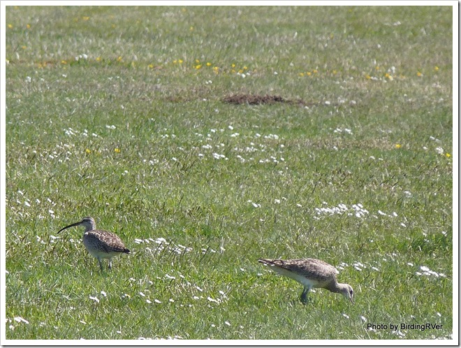 Whimbrels on the grass