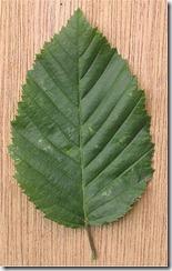 250px-Haagbeuk_dubbelgezaagd_blad_Carpinus_betulus[1]