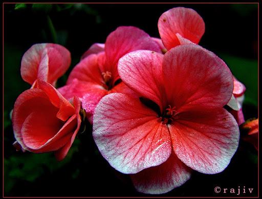 Pink © RajivKumar