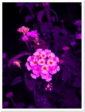 flores-lantana_1079_1