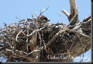 Hawk Nest4