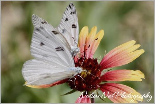 Western White Butterfly