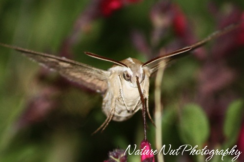Hummingbird Moth6