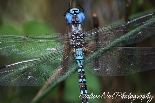 Blue Darner Dragonfly3