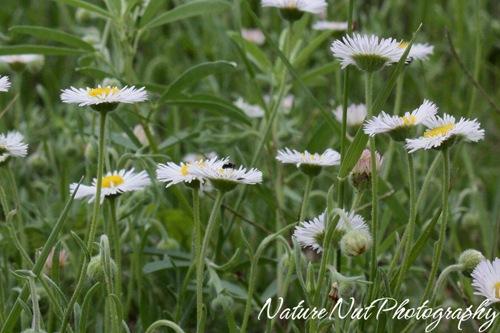 wild daisy2