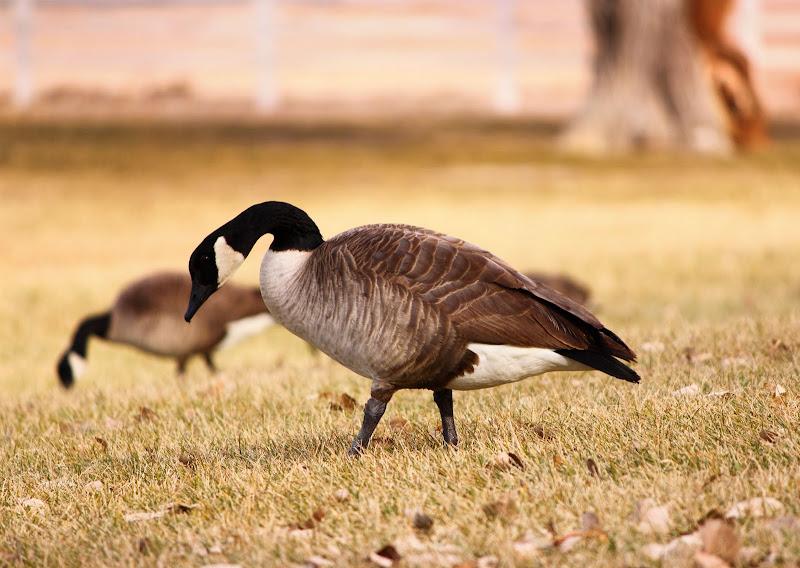 IMAGE: http://lh6.ggpht.com/__5V00Q79m6c/TSkqvi8WFZI/AAAAAAAAANA/6NQTGC1NdMc/s800/Canadian_geese.jpg