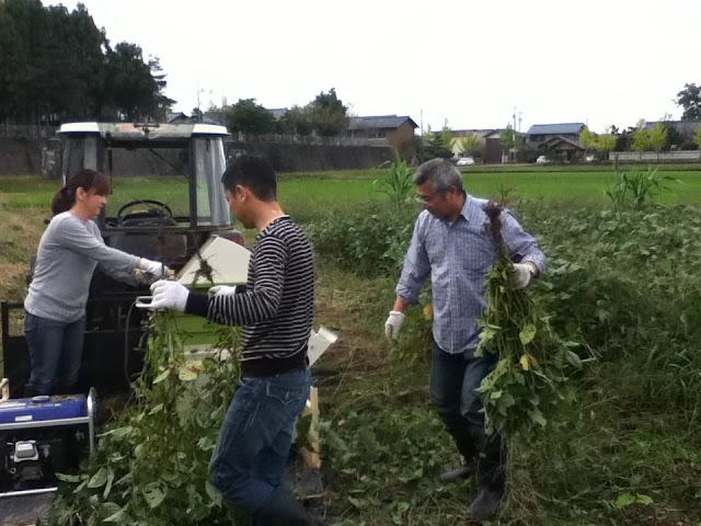 枝豆狩り作業風景