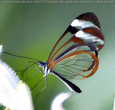 kupu-kupu bersayap transparan