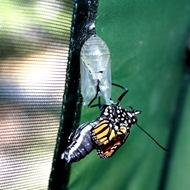 kupu-kupu keluar dari kepompong 5