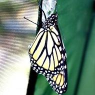 kupu-kupu keluar dari kepompong 11