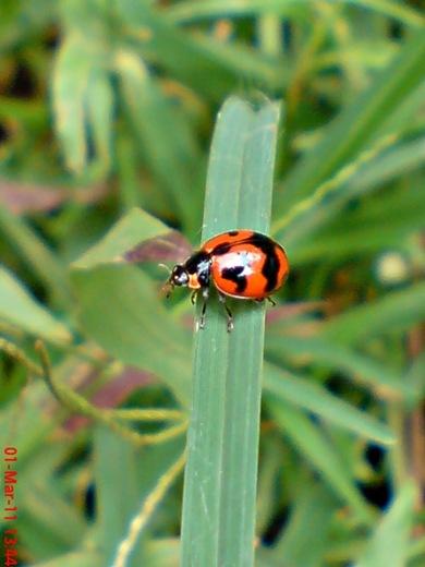 transverse ladybird 07
