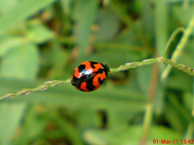 transverse ladybird 05