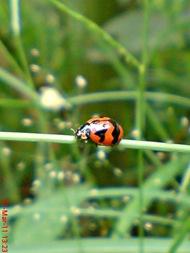 transverse ladybird 02