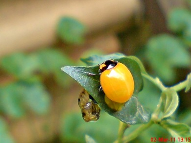 transverse ladybug emerged from the pupa 04