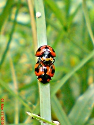 ladybird mating 09