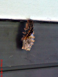 caterpillar turn into chrysalis 04