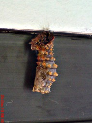 caterpillar turn into chrysalis 08