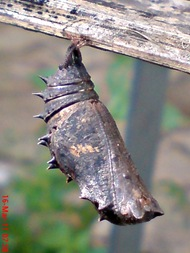 Common Eggfly Butterfly Emerging from a Chrysalis 01