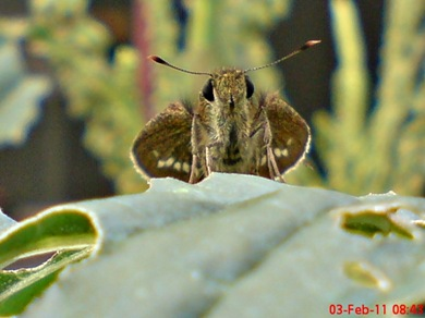 Grass-skipper Borbo cinnara 9