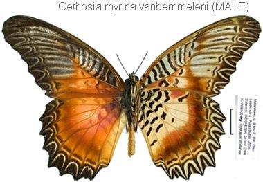 Cethosia myrina vanbemmeleni Juriaanse & Lindemans, 1918 (male)