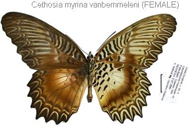 Cethosia myrina vanbemmeleni Juriaanse & Lindemans, 1918 (female)