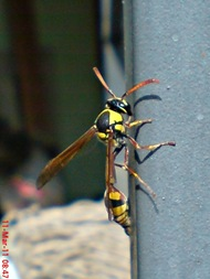 Delta campaniforme_Yellow and black potter wasp 05
