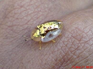 Aspidomorpha sanctaecrucis tortoise beetles 14