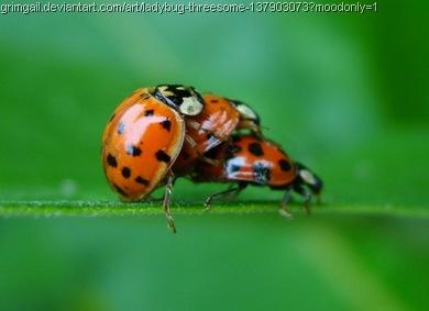 ladybug_threesome