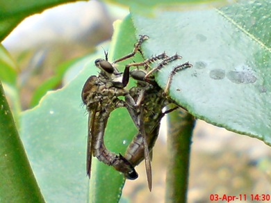 robber fly mating 03