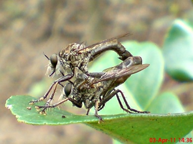 robber fly mating 05