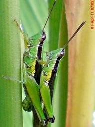 grasshopper_belalang_Oxya chinensis 4