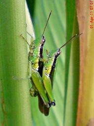 grasshopper_belalang_Oxya chinensis 1