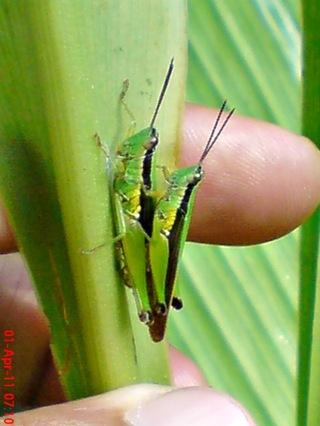 grasshopper_belalang_Oxya chinensis 5