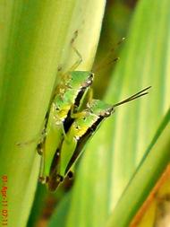 grasshopper_belalang_Oxya chinensis 7